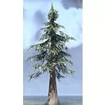 Tree, Giant Snowy White Pine