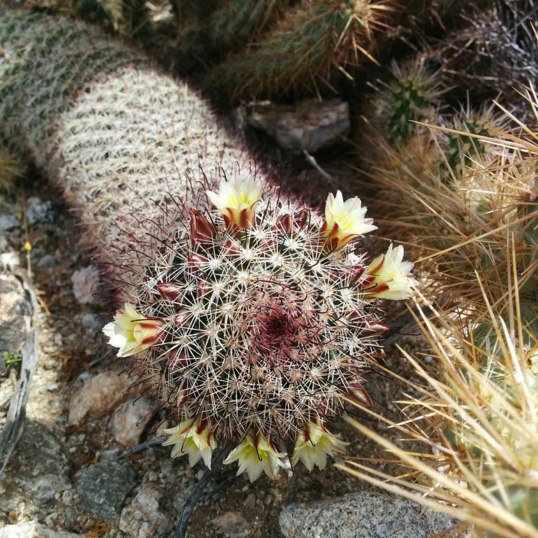 Wildflowers and Blooming Cactus in Anza-Borrego Desert State Park
