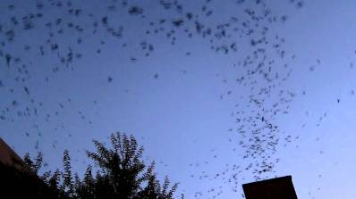 Vaux's Swifts entering a chimney