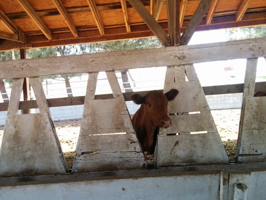 cow-in-v-barn