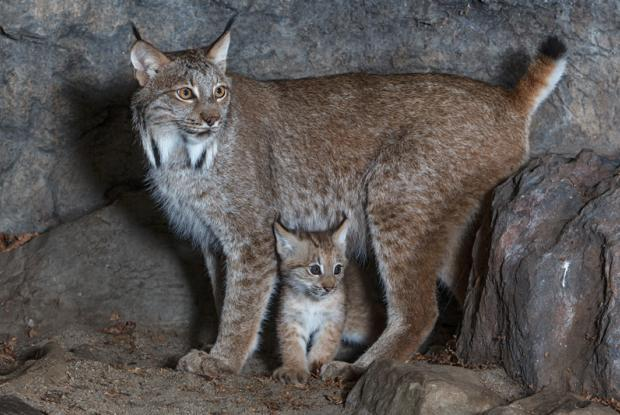 Canada lynx | Space for life