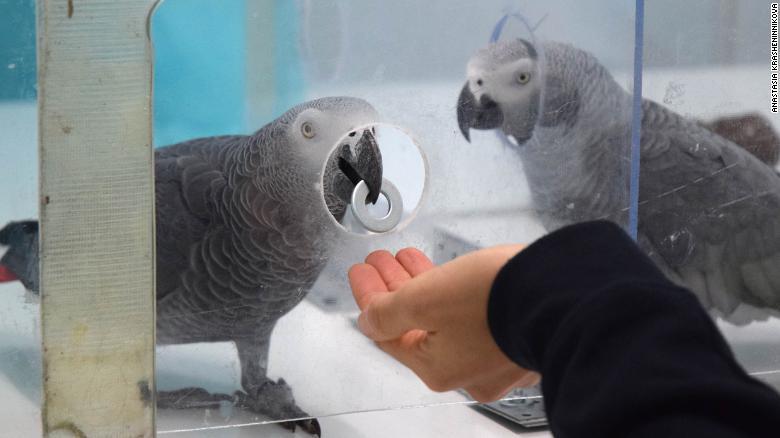 Esta imagem mostra um papagaio cinza africano devolvendo uma ficha ao pesquisador.