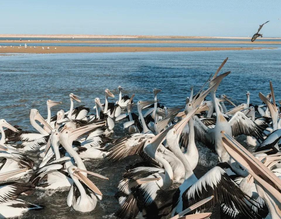 Pelicanos The Entrance