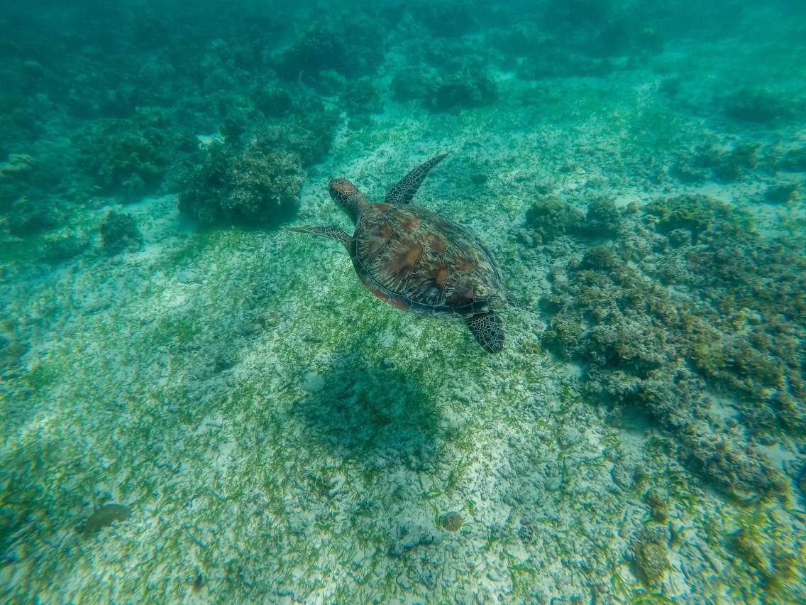 Tortugas en Moalboal
