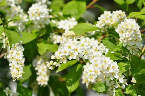 Черемуха цветущая картинки – Виды черемухи: описание ...