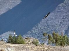 Condor delle Ande, Cruz del Condor, Colca Canyon, Perù
