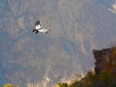 Carogne laggiù? Cruz del Condor, Canyon del Colca, Perù