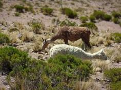 Alpaca, Perù