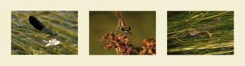 Calopteryx xanthostoma