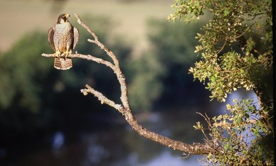 Le faucon pèlerin, espèce protégée