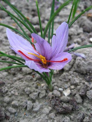 Crocus_sativus_02_by_Line1