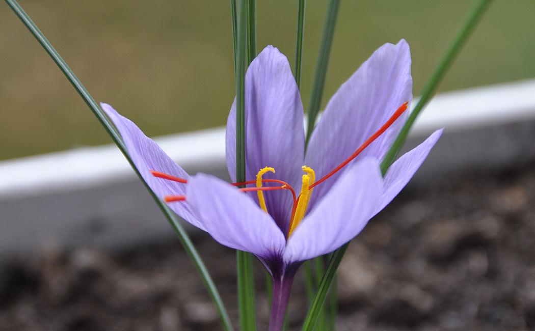 Crocus sativus : un peu de botanique