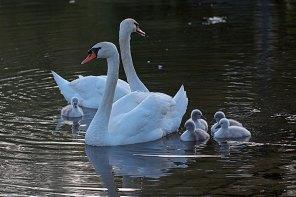 Une famille de cygnes et ses )petits à Lalinde