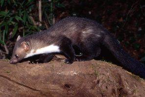La fouine, un animal solitaire, curieux de tout © Pierre Boitrel
