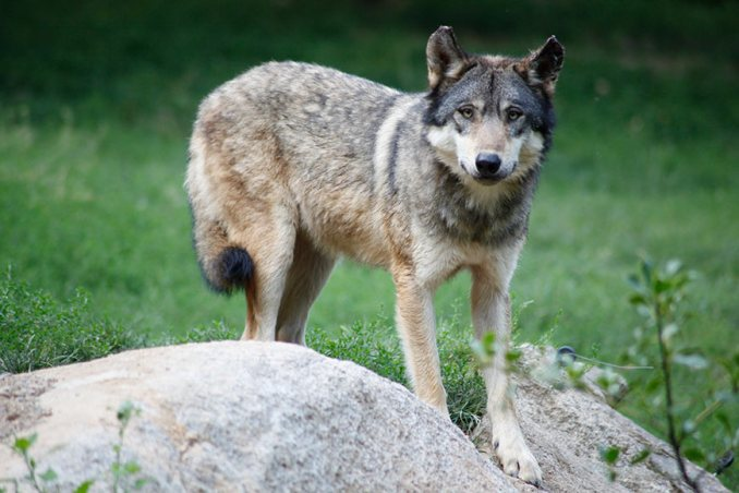 loup-gris-europe-canis-lupus