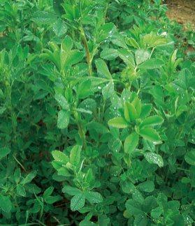 Grasada-luzerne-plante