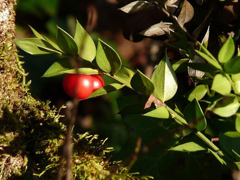 Fragon ou «petit-houx» (Ruscus aculeatus)