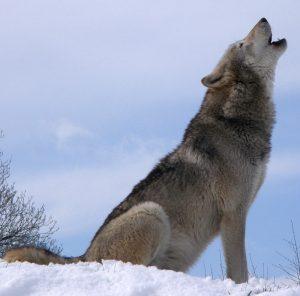 Un loup gris (canis lupus) hurlant