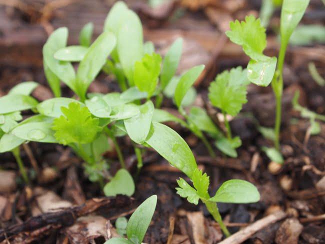 semis de coriandre en janvier