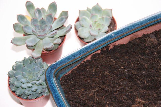 planter des succulentes et des plantes grasses