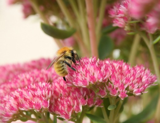 grand sedum spectabile et bourdon