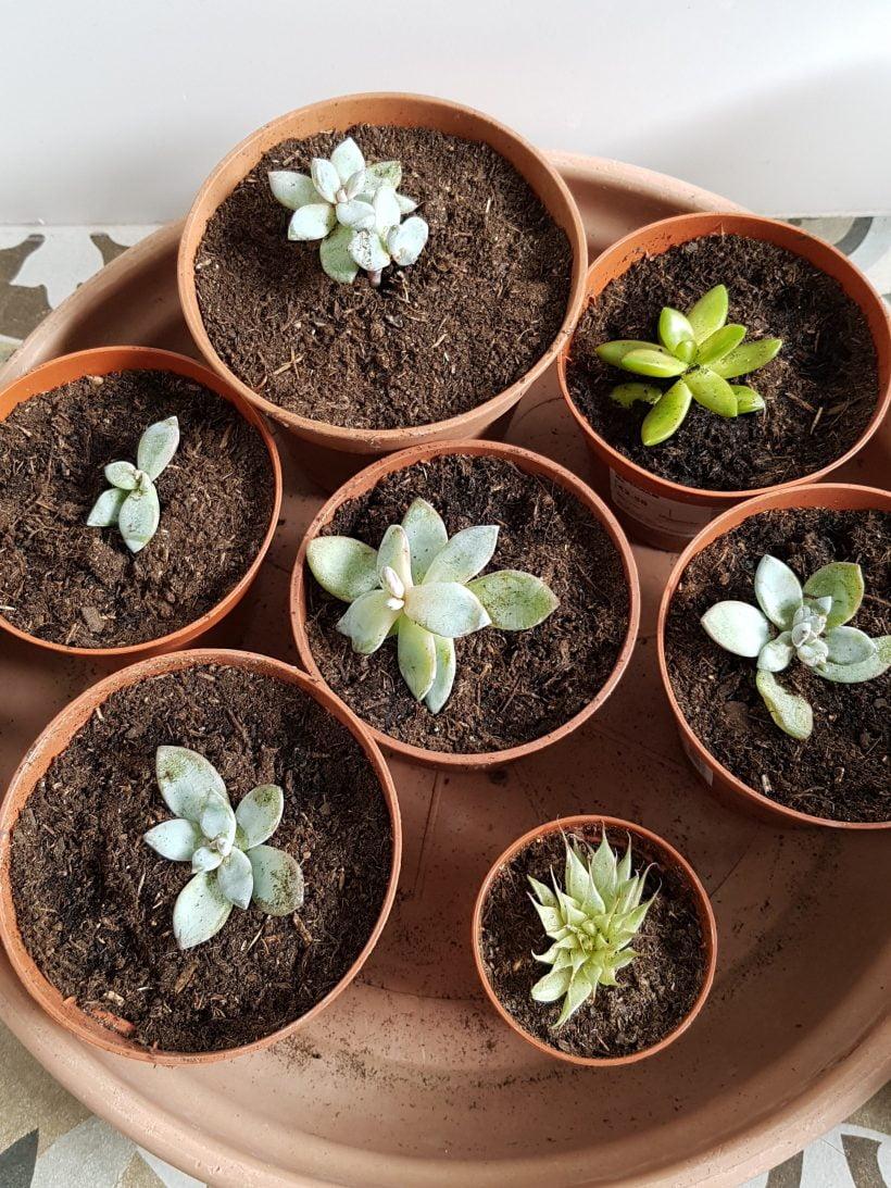 boutures de succulentes