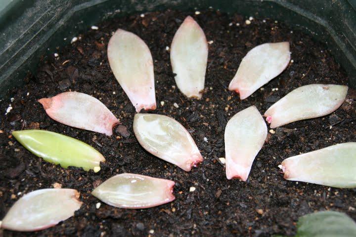 bouture succulente et plante grasse