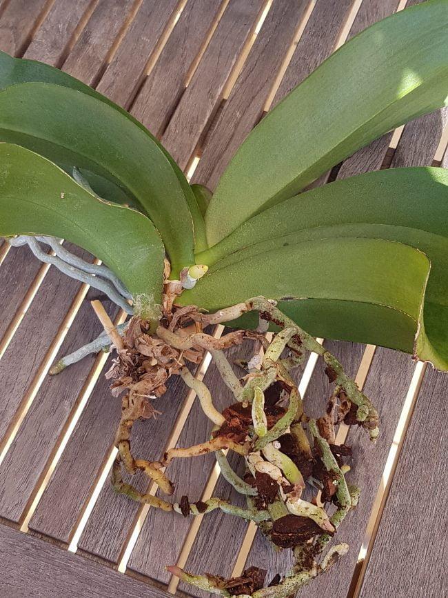 rempotage des orchidées