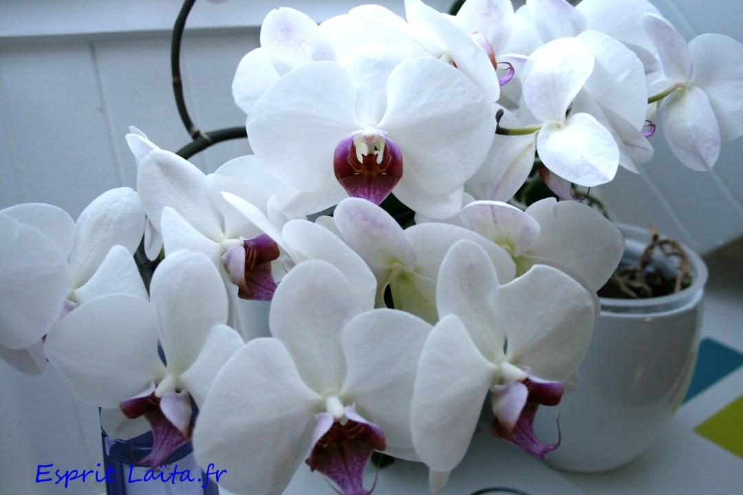 comment entretenir et arroser une orchidée phalaenopsis