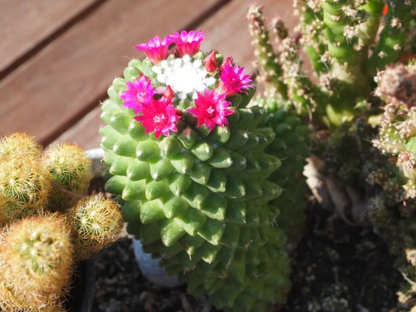 cactus mamillaria rose