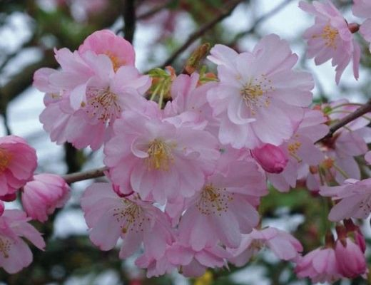 Prunus-accolade