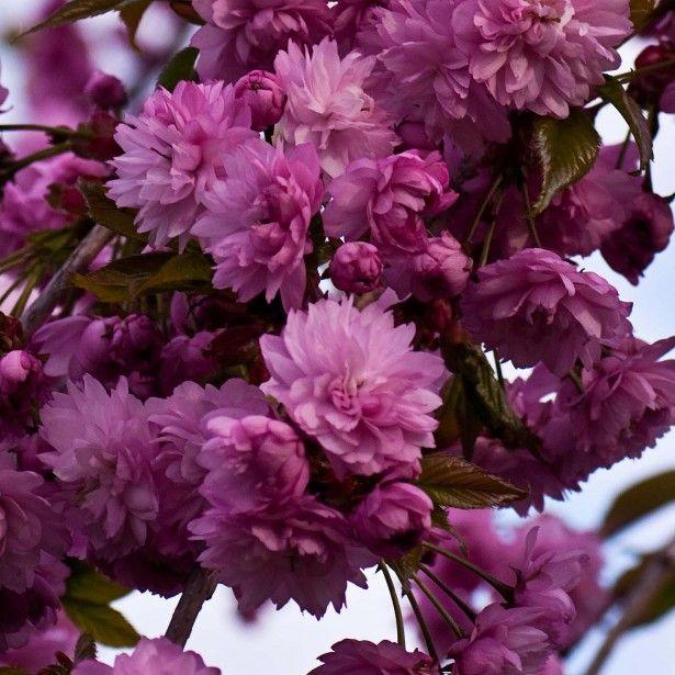 Prunus-serrulata-Kiku-Shidare-Zakura-