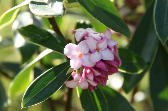 daphné fleur