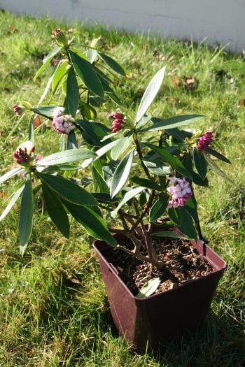 daphné plant