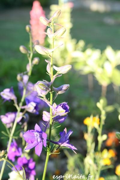 jardin breton en été - Delphinium