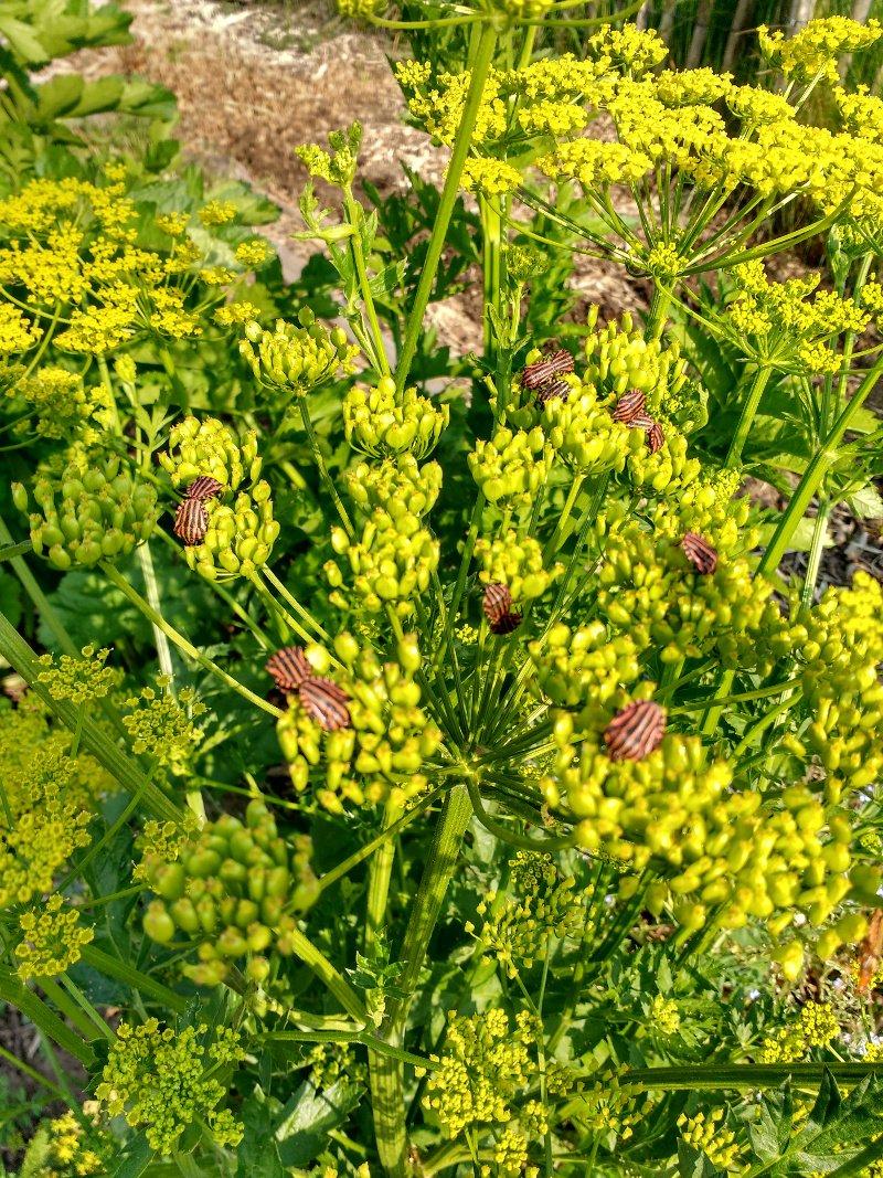 ombelles du panais en fleurs