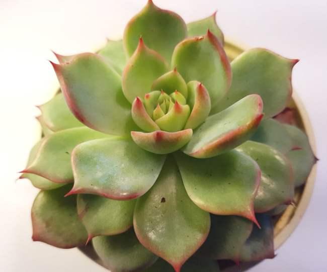 reconnaitre les succulentes
