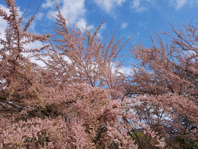 jardiner en avril - un jardin breton - Tamaris