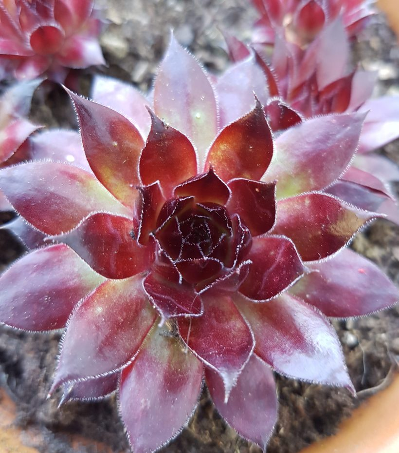 Sempervivum joubarbe rouge