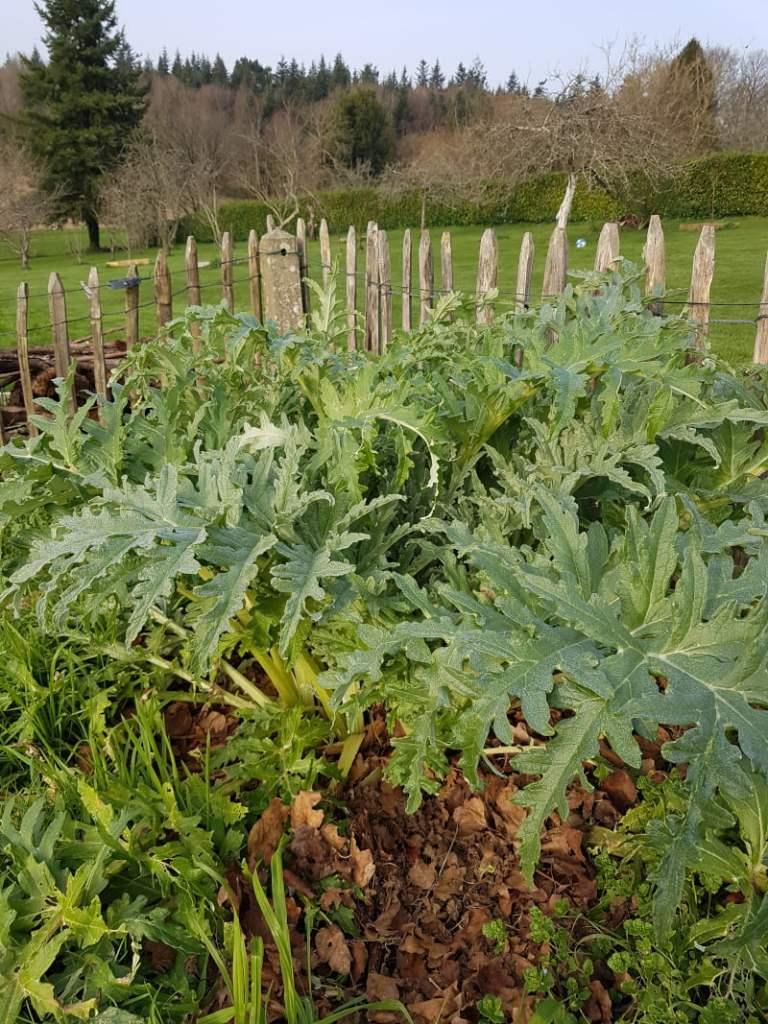 visite du jardin en janvier - artichaut