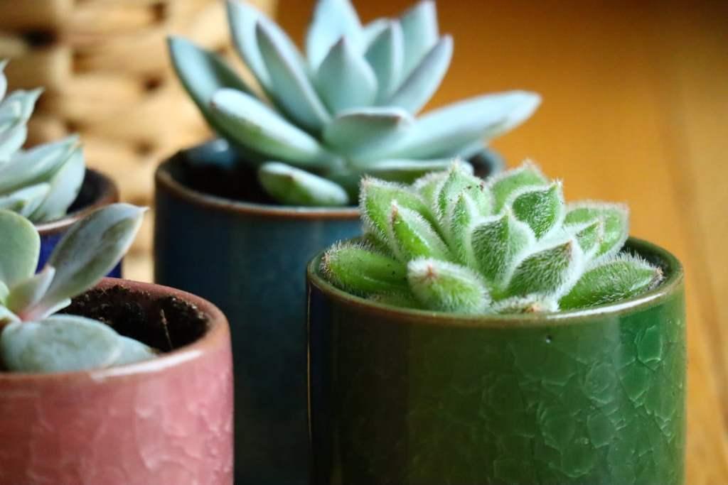 Rempotage des boutures de succulentes