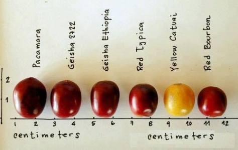 Coffee Varietals