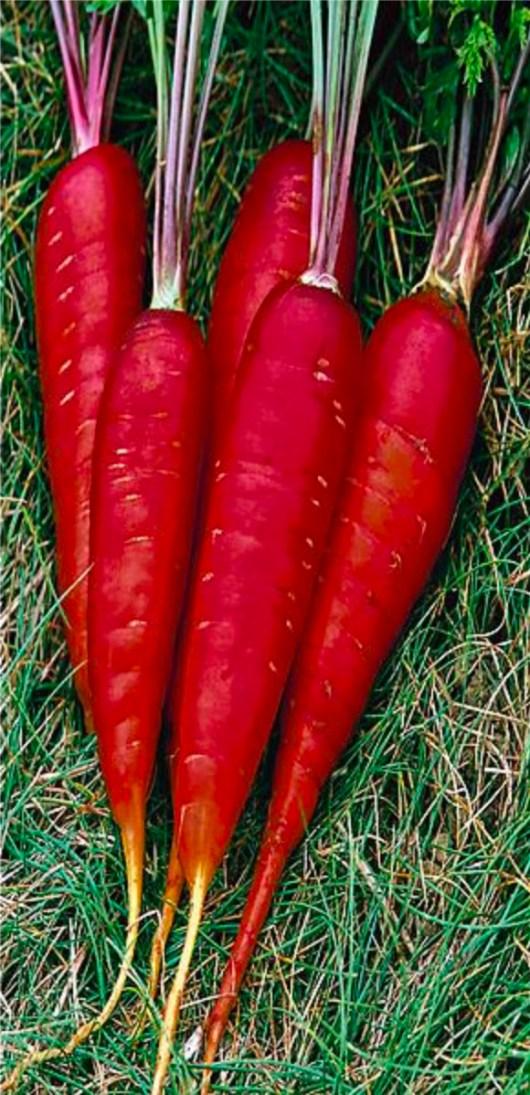 Carotte rouge sang cultivée par Essaimances, permaculture Gravelines