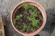So sieht also grüner Spargel in seinem ersten Jahr aus.