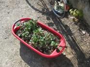 Erdbeepflanzen umgesetzt