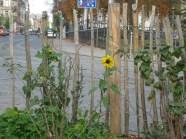Eine Nachwuchs-Sonnenblume im November