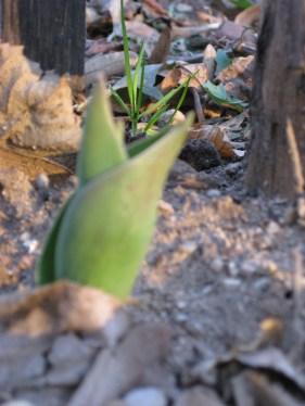 Bald wird der Zaun von vielen Tulpen verziert sein