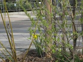 Einige Frühligsblüher verschönern den Zaun