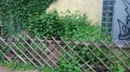 Jostabeere und Schwarze Johannisbeere