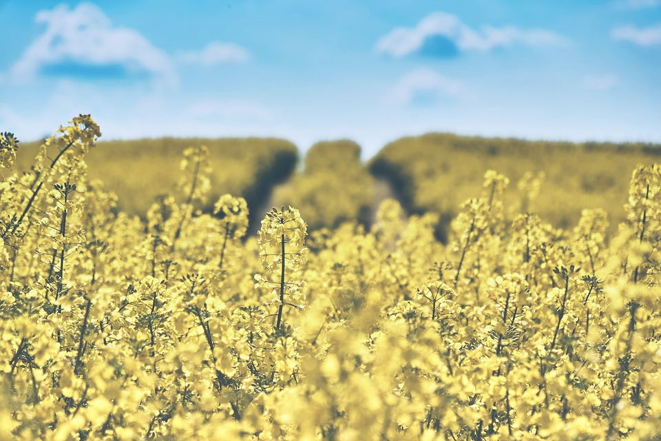 field-of-rapeseeds-1433380_960_720